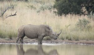 Covid impact on rhino poaching