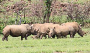 Kruger Rhino Numbers